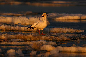 Snow geese (Chen caerulescens) standing on ice, Arctic. Taken on location for BBC Frozen Planet series, 2008  -  Chadden Hunter