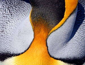 King penguin (Aptenodytes patagonicus) close up of throat feather pattern, South Georgia. Taken on location for BBC Frozen Planet series, 2008  -  Chadden Hunter