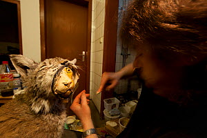 Taxidermist working on mounting the skin of a dead Lynx (Lynx lynx) that had been run over, commissioned by the Forest Research Institute, Freiberg, The Black Forest, Germany.  Highly commended, Man a...  -  Klaus Echle