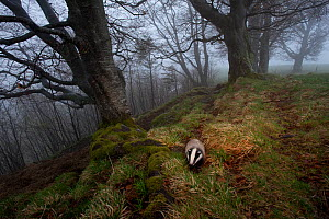 Badger (Meles meles) foraging in woodland on edge of forest, Black Forest, The Black Forest, Germany, May. Highly commended in Mammals category, GDT competition 2011  -  Klaus Echle