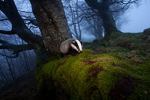 Young Badger (Meles meles) foraging in woodland on edge of woodland, The Black Forest, Germany, May  -  Klaus Echle