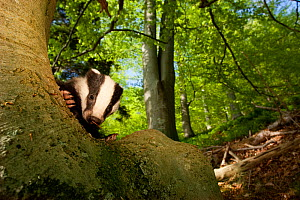 Young Badger (Meles meles) behind trunk of a Beech tree, Black Forest, Germany, April  -  Klaus Echle