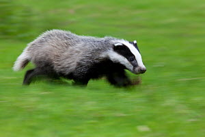 Badger (Meles meles) running,  Black Forest, Germany, May  -  Klaus Echle