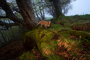 Red fox (Vulpes vulpes) vixen 'Sophie' in woodland, Black Forest,  Germany, May - Klaus Echle