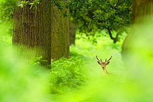 Fallow deer (Dama dama) amongst bracken in oak woodland, Cheshire, UK, August, Highly Commended, Habitat category, British Wildlife Phototgraphy Awards (BWPA) competition 2011 - Ben Hall