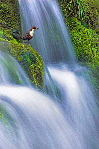 Dipper (Cinclus cinclus) perched on moss-covered waterfall, Peak District NP, Derbyshire, UK, May,  Highly Commended, Habitat category, British Wildlife Phototgraphy Awards (BWPA) competition 2011  -  Ben Hall