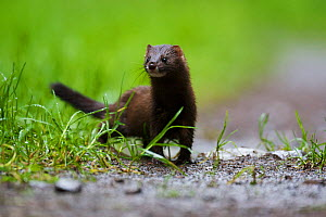 European Mink (Mustela lutreola) female on a forest road. Critically endangered. Saarland, Germany, August.  -  Florian Möllers
