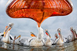 Dalmatian pelican (Pelecanus crispus) low angle perspective of open bill, Lake Kerkini, Greece, February. Winner, Eric Hosking award, 2011 Wildlife Photographer of the Year competition - Bence Mate