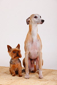 Yorkshire terrier and male Whippet sitting next to each other on carpet - Petra Wegner
