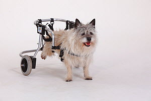 Disabled Cairn terrier with wheelchair supporting hind legs  -  Petra Wegner