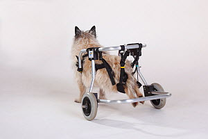 Rear view of disabled Cairn terrier with wheelchair supporting hind legs - Petra Wegner