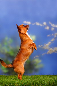 Smooth haired Chihuahua standing on hind legs  -  Petra Wegner