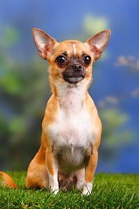 Female smooth haired Chihuahua sitting  -  Petra Wegner