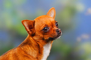 Smooth haired Chihuahua portrait  -  Petra Wegner