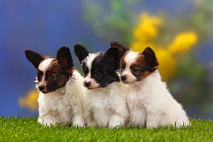 Three Papillon / Butterfly dog / Continental toy spaniel puppies sitting in a row, 7 weeks  -  Petra Wegner