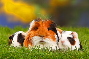 Coronet Guinea pig with two babies, tortoiseshell-and-white  -  Petra Wegner