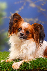 Papillon / Butterfly dog / Continental toy spaniel lying down  -  Petra Wegner