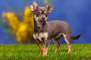 Smooth haired Chihuahua puppy, blue-tan, 4 months  -  Petra Wegner
