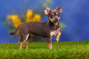 Smooth haired Chihuahua puppy standing with front left paw raised, blue-tan, 4 months  -  Petra Wegner