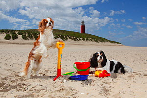 Two Cavalier king charles spaniels, blenheim one standing on hind legs against spade as if digging with a tricolour one lying on sand near toys on beach, Texel Island, Netherlands  -  Petra Wegner