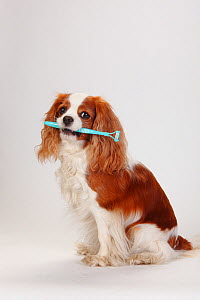 Blenheim Cavalier King Charles Spaniel, sitting with dog's toothbrush in mouth - Petra Wegner