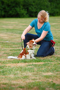 Woman attaching lead to harness of Cavalier King Charles Spaniel, blenheim, model released - Petra Wegner