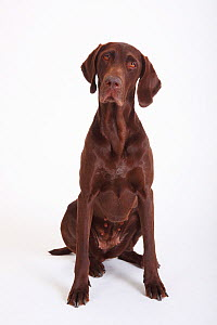 German Shorthaired Pointer, bitch, 5 years, sitting - Petra Wegner