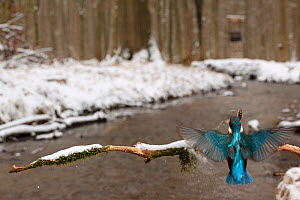 Kingfisher (Alcedo atthis) flying with fish  to branch over snow banked stream. Black Forest, Germany, January.  -  Klaus Echle