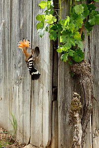 Hoopoe (Upupa epops) bringing a large insect (possibly a Mole Cricket) to its nest hole in a fence. Black Forest, Germany, June.  -  Klaus Echle