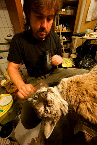 Taxidermist working on mounting a Lynx (Lynx lynx). The specimen was killed on a road. The Black Forest, Germany, February.  Captive.  -  Klaus Echle