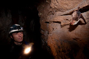 Man in a cave looking at a Greater Mouse-eared Bat (Myotis myotis). Black Forest, Germany, February.  -  Klaus Echle