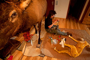 Taxidermist sitting beneath a mounted deer, working on a Lynx (Lynx lynx) torso. The speciment was killed on a road. The Black Forest, Germany, February.  Captive.  -  Klaus Echle