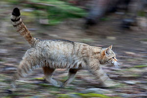 Wildcat (Felis silvestris) walking. Rhine Valley near Frieburg, Germany, March. - Klaus Echle