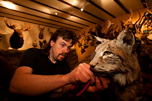 Taxidermist in his studio working on mounting  Lynx (Lynx lynx). Specimen was killed on a road. The Black Forest, Germany, March.  Captive.  -  Klaus Echle