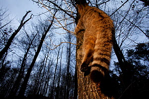 Wildcat (Felis silvestris) climbing up a tree. Rhine Valley near Frieburg, Germany, March. - Klaus Echle