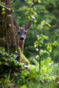 Roe Deer (Capreolus capreolus) hiding behind a tree. Black Forest, Germany, May. - Klaus Echle