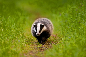 Badger (Meles meles) on path. The Black Forest, Germany, May.  -  Klaus Echle