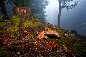 Red Fox (Vulpes vulpes) digging a den hole under a tree stump. Black Forest, Germany, July.  -  Klaus Echle