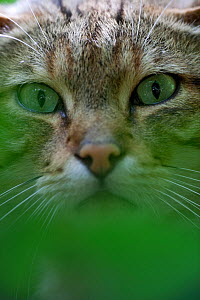 Portrait of Wildcat (Felis silvestris). Rhine Valley near Frieburg, Germany, July. - Klaus Echle