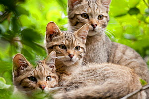 Three young Wildcats (Felis silvestris). Rhine Valley near Frieburg, Germany, July. - Klaus Echle
