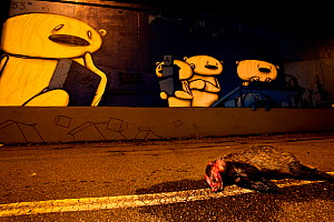 Badger (Meles meles) lying dead in a road with graffiti of concerned looking bears in the background. Freiburg im Breisgau, Germany, August  -  Klaus Echle