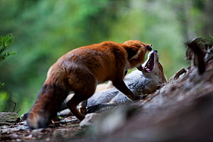 Red Fox (Vulpes vulpes) social behaviour, mouthing, one in submission pose. Black Forest, Germany, October. - Klaus Echle