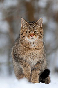 Wildcat (Felis silvestris) sitting in snow. Rhine Valley near Frieburg, Germany, January. - Klaus Echle
