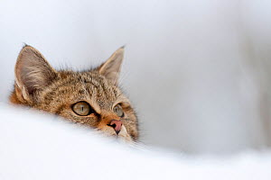 Wildcat (Felis sylvestris) seen over a snow bank. Rhine Valley near Frieburg, Germany, January. - Klaus Echle