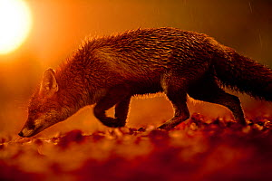 Red Fox (Vulpes vulpes) with wet fur in warm light. Black Forest, Germany, November.  -  Klaus Echle