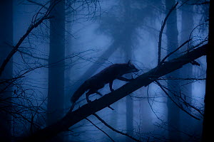 Red Fox (Vulpes vulpes) walking along a fallen trunk, silhouetted in misty forest. Black Forest, Germany, November.  -  Klaus Echle