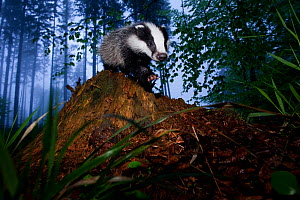 Young Badger (Meles meles) in misty forest. The Black Forest, Germany, May.  -  Klaus Echle