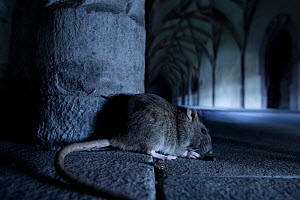 Common brown rat (Rattus norvegicus) in vaulted building. Black Forest, Germany, August.  -  Klaus Echle