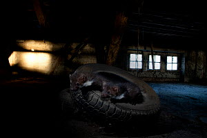 Two Beech Marten (Martes foina) in car tyre in a shed. Black Forest, Germany, May. - Klaus Echle