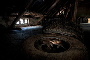 Two Beech Marten (Martes foina) hiding in car tyre in a shed. Black Forest, Germany, May. - Klaus Echle